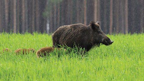 Priimamos paraiškos medžiojamųjų gyvūnų daromos žalos miškui prevencinių priemonių įgyvendinimui finansuoti
