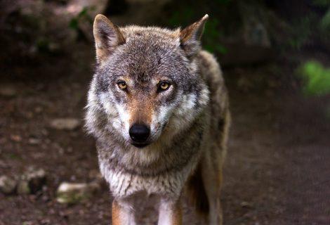 Kaip apsaugoti ūkinius gyvūnus nuo vilkų
