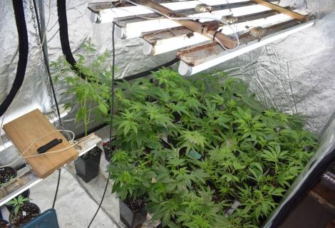 Aptikta kanapių auginimo laboratorija Lazdijų rajono vienkiemyje