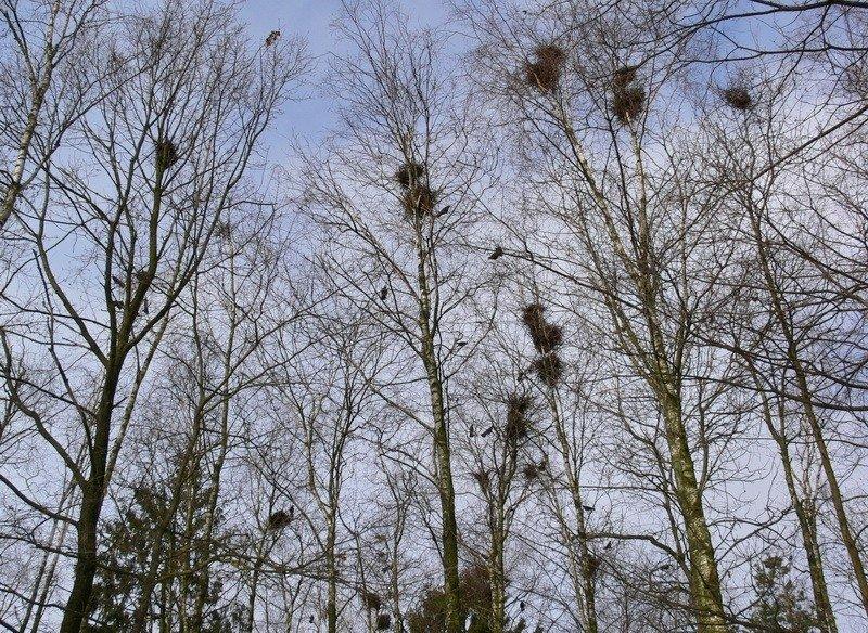 Mažeikiškių dėmesiui! Pirotechninėmis priemonėmis bus reguliuojama varninių paukščių gausa