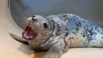 Jūrų muziejuje gydomi trys ruonių jaunikliai