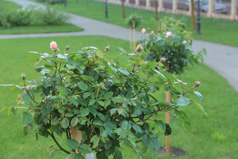 """Ch. Frenkelio vilos rožyne """"išdygo"""" pirmoji vardinė rožė"""