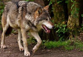 Jau skaičiuojama vilkų ūkiniams gyvūnams padaryta žala