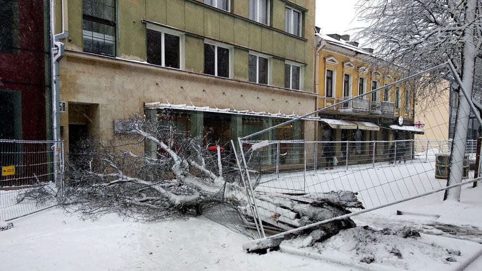 Per žingsnį nuo nelaimės: sutrešusi liepa Kauno Laisvės alėjoje neatlaikė gausaus sniego