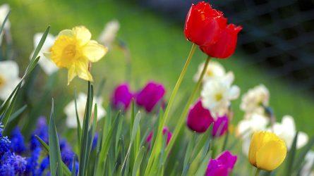 Klaipėdoje poezija budintas pavasaris