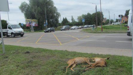 Atsargiai - keliuose laukiniai gyvūnai!