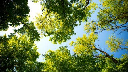 Po Skuodo miesto Dariaus ir Girėno gatvės rekonstrukcijos bus atsodinta 60 medžių