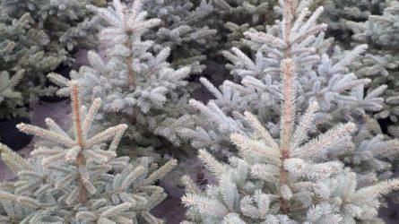 Valstybinių miškų urėdija pradeda prekybą Kalėdų eglutėmis
