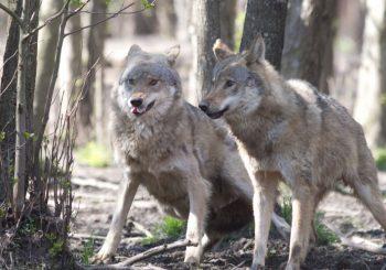 Jau nutraukiamas vilkų medžioklės sezonas