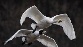 Naminių paukščių augintojai įspėjami – prasidėjo pavasarinė paukščių migracija