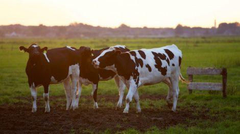 Didinamos susietosios paramos išmokos už gyvulius