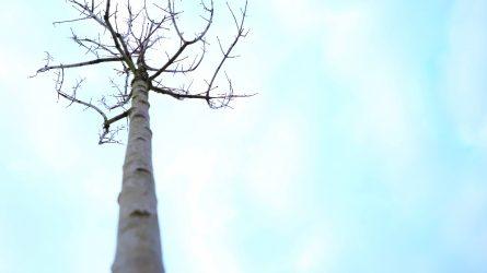 Šiaulių architektai pateikė nuomonę dėl naujų medelių