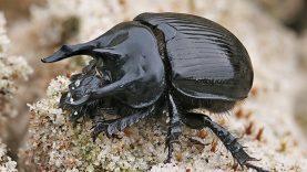 Zoologijos muziejaus entomologai aptiko  naują Lietuvai vabalų rūšį