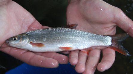 Lietuvos vandens telkiniuose daugės retų žuvų