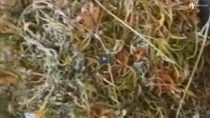 Raseinių policijos pareigūnai demaskavo kanapių auginimo laboratoriją