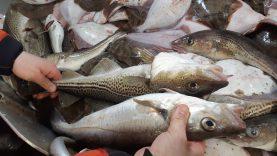 Aukcione – menkių, strimelių, šprotų ir lašišų žvejybos kvotos