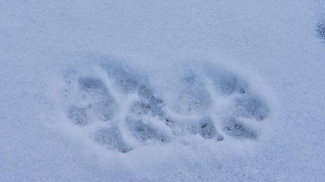 Šilta žiema sutrukdė atlikti medžiojamųjų gyvūnų apskaitą pagal pėdsakus sniege