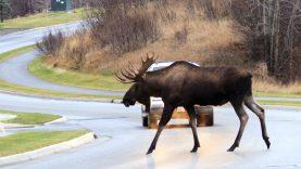 Avarijų padvigubėjo: kaip kelyje išvengti susidūrimo su žvėrimi?