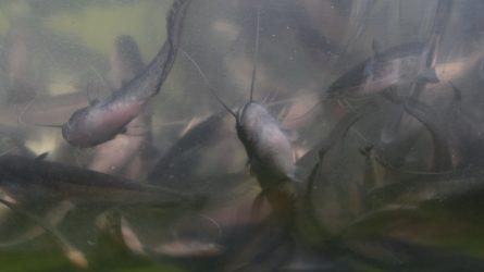 Lietuvos ežerai gausiai įžuvinti šamų jaunikliais
