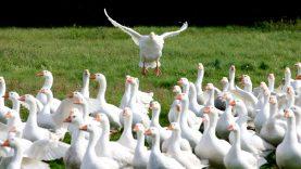 Rudeninė paukščių migracija vėl primena apie paukščių gripo pavojų