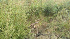 Utenos rajone dingusi senolė rasta gyva ir sveika tankiame miško jaunuolyne