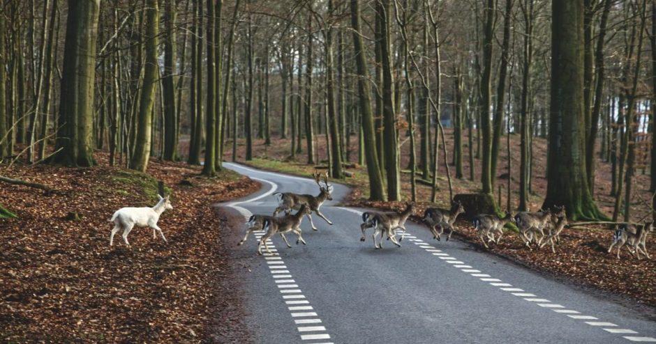 Po vairuotojų ratais – ir stirnos, ir gandrai, ir naminiai gyvūnai