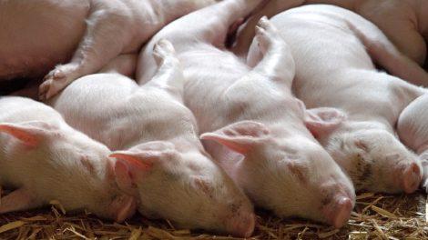 Parama ūkinių gyvūnų ligų prevencijai