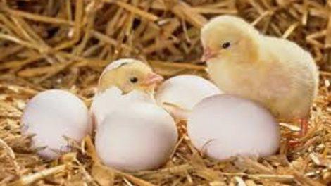 Paukštienos ir kiaušinių sektoriaus ūkio subjektams – papildomas kvietimas teikti paraiškas