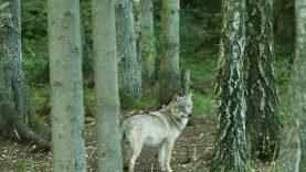 Siūloma per būsimą medžioklės sezoną leisti sumedžioti 175 vilkus
