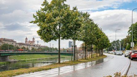 Vilnius imasi žaliųjų alėjų: brandūs medžiai verti didesnio rūpesčio