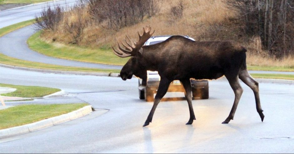 Verta žinoti: kiek kainuoja susidūrimas su gyvūnu kelyje?
