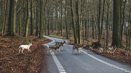 Laukiniai gyvūnai traukia maitintis: eismo nelaimių padaugėjo dvigubai