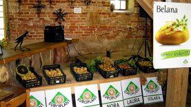 Sėklinės bulvės: geriau pirkti iš profesionalų arba sėklą teks ruošti itin kruopščiai