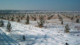 Miško medžių genetinis fondas: numatyti pagrindiniai darbai jam saugoti ir naudoti