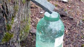 Sulos leidimo sezonas: kaip teisingai leisti sultis ir pasigaminti klevų sirupo