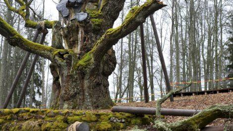Į pagalbą senoliui Stelmužės ąžuolui