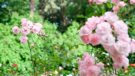 Šiemet Alytų dešimtimis tūkstančių žiedų puoš įvairiaspalvė gėlių harmonija!