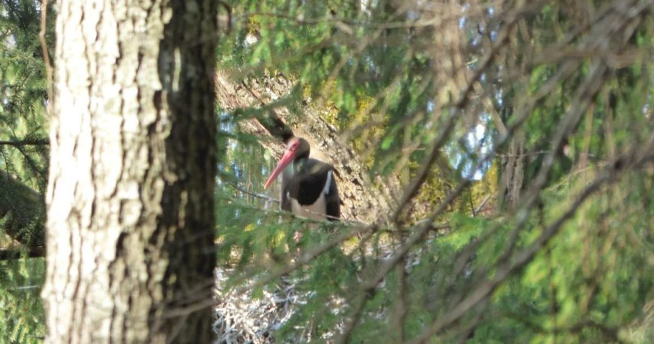Žagarės miške – juodojo gandro buveinė