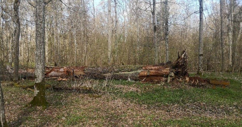 Vėjo nebeatlaikė vienas seniausių ir storiausių Lietuvos ąžuolų