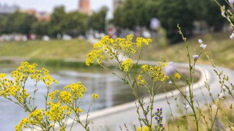 Vilnius ir šiemet tęs tvaraus šienavimo strategiją