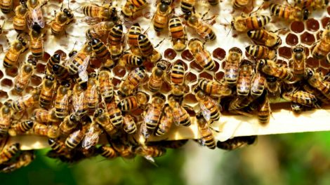 Už papildomą bičių maitinimą – kompensacija