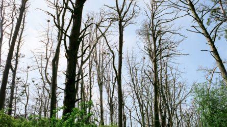 Aplinkosaugininkai pradeda medžius nuo kenkėjų saugančią akciją