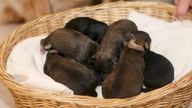 Už kaimynės penkių šuniukų pardavimą raseiniškiui teismas skyrė bausmę