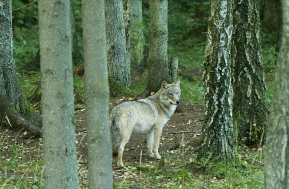 Valstybės leidžiamų sumedžioti vilkų skaičius turėtų nedidėti