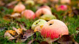 Ir rudens nuspalvintus lapus, ir obuolius krituolius – į komposto dėžę