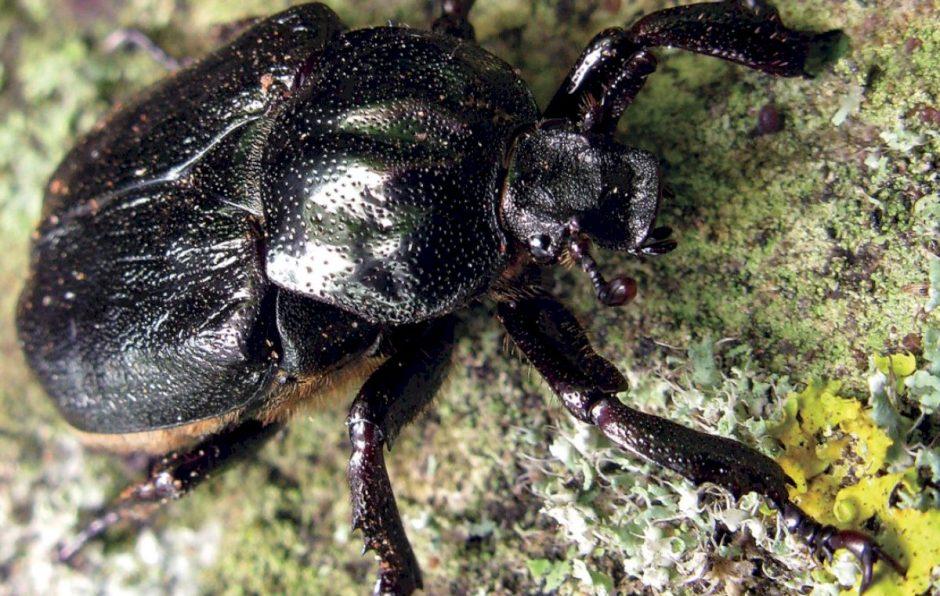 Niūriaspalvis auksavabalis – skėtinė, brandžių ąžuolų ir neįprasto vardo rūšis